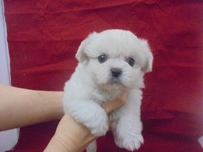 ミックス犬(ペキニーズ×ビションフリーゼ)