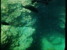 海の宝石☆ソラスズメダイ 体は青く尾びれは黄色!ドリ…ナンヨウハギに似ていますが、彼女ほど大きくは成長しません。