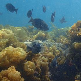 グレ(メジナ)と初春に育つフクロノリという海藻 ※これはグラスボートの船底から見える風景ではなく、潜水して撮影した写真です。