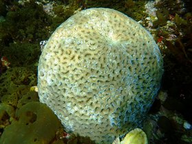 臨海に自生しているサンゴ ※これはグラスボートの船底から見える風景ではなく、潜水して撮影した写真です。