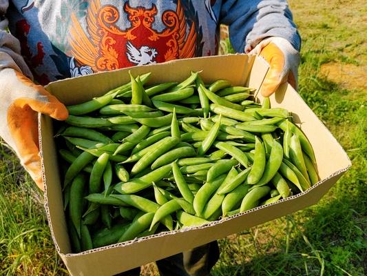 スナップエンドウの収穫☆