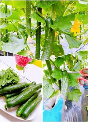 きゅうりの収穫★