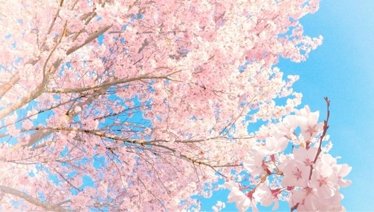 凝縮された「桜の花エキス」のチカラ