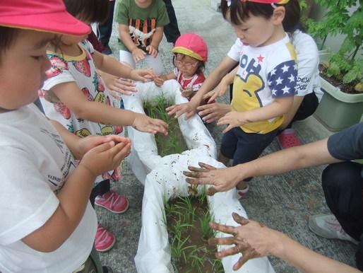 稲の苗植え