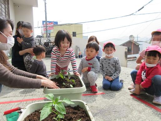 野菜の苗植え